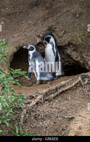 Magellanic Penguin. Spheniscus (Magellanicus), Woburn Safari Park. - Stock Photo