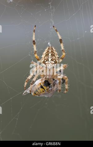 European garden spider, Araneus diadematus, on its web with wasp prey in a silk cocoon - Stock Photo