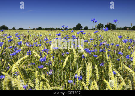 Blue Cornflowers Centaurea Cyanus In A Cornfield - Stock Photo