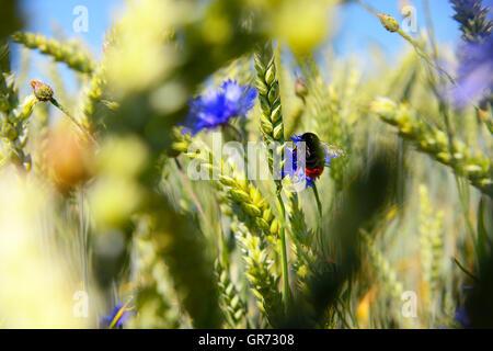Blue Cornflowers Centaurea Cyanus , Wheat And Red Tailed Bumble Bee Bombus Lapidarius - Stock Photo