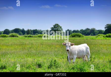 White Cattle In Hamburg, Germany - Stock Photo