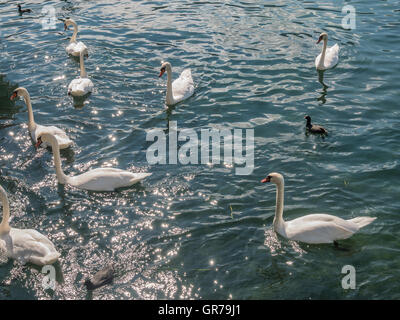 Swans at the lakeside of lake Iseo in Italy - Stock Photo