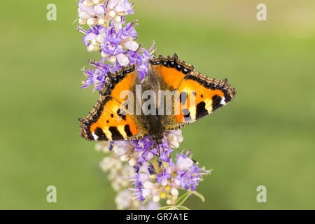 Aglais Urticae, Nymphalis Urticae, Small Tortoiseshell On Chastetree, Chasteberry, Monk S Pepper, Lower Saxony, - Stock Photo