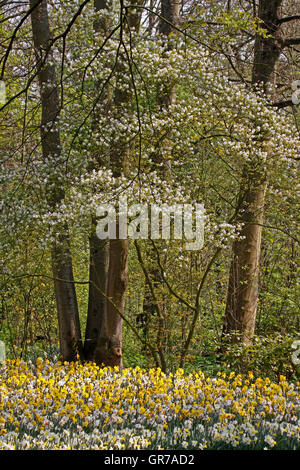 Blossoming Tree With Daffodills In Spring, Netherlands, Europe - Stock Photo