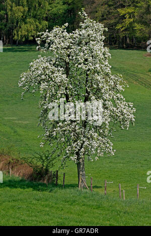 Pear Tree In April, Lower Saxony, Germany, Europe - Stock Photo