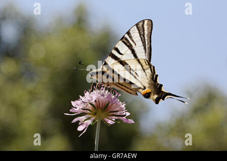 Scarce Swallowtail, Sail Swallowtail, Pear-Tree Swallowtail, Iphiclides Podalirius Butterfly From Western Europe - Stock Photo