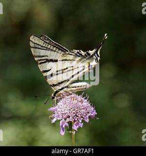 Iphiclides Podalirius, Scarce Swallowtail, Sail Swallowtail, Pear-Tree Swallowtail From France, Europe