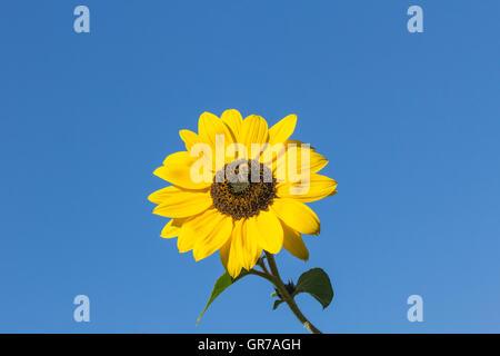 Sunflower Helianthus Annuus In Lower Saxony, Germany, Europe - Stock Photo