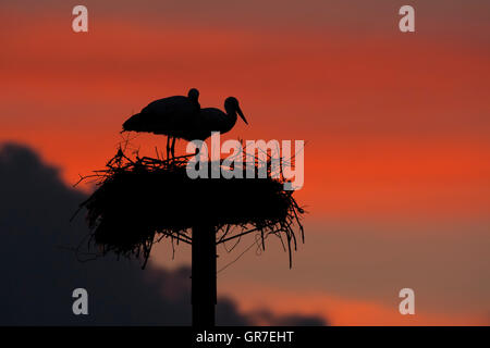 White Stork (Ciconia ciconia) adult pair on artificial nesting poles at sunset, Caceres province, Extremadura, Spain - Stock Photo