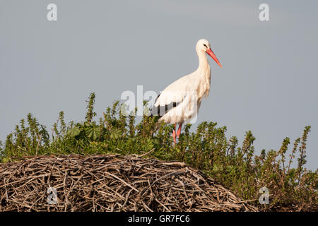 White Stork (Ciconia ciconia) nesting on granite boulders, Los Barruecos, Extremadura, Spain - Stock Photo