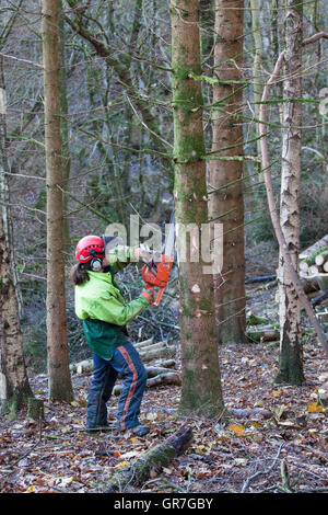 Man cutting branches from conifer tree with chainsaw, Briarwood Banks, Plankey Mill, Northumberland, England - Stock Photo