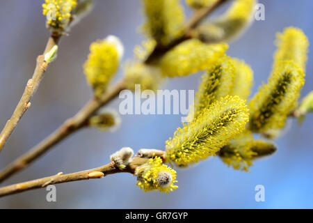 Willow Catkin, Salix Spec. - Stock Photo