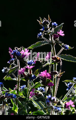 Backlit red campion and alkanet flowers - Stock Photo