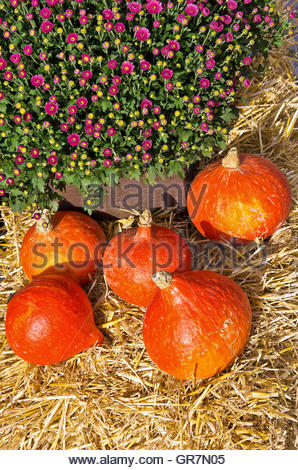 Red Kuri Hokkaido Squashes And Red Daisies Bellis Perennis Decoratively Arranged At A Farmer S Market. - Stock Photo