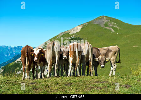 A Herd Of Cows On An Alpine Meadow - Stock Photo