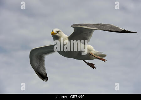 European Herring Gull Larus Argentatus Flying Over The North Sea - Stock Photo