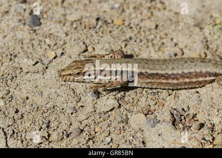 Podarcis Muralis, Common Wall Lizard From Germany - Stock Photo