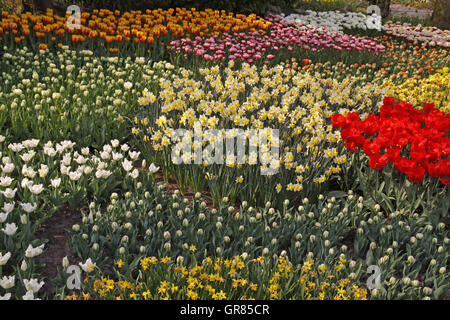 Daffodils And Tulips In A Park In The Netherlands, Europe - Stock Photo
