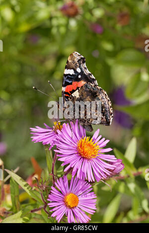 Red Admiral Vanessa Atalanta On Aster In October, Germany, Europe - Stock Photo