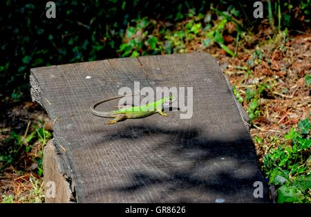 Ibiza Wall Lizard Podarcis Pityusensis On Sunbed - Stock Photo