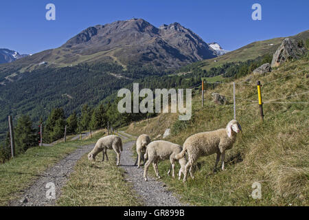 Flock Of Sheep In The The Ötztal Valley In Tyrol At Leiterbergalm - Stock Photo