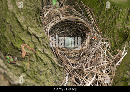 Bird S Nest In A Tree With Two Eggs - Stock Photo