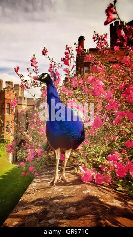 Peacock On Wall Against Pink Flowers In Park - Stock Photo