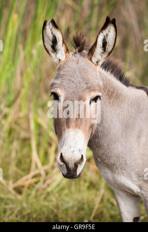Donkey (Equus asinus), Djoudj National Park, Senegal, Africa - Stock Photo