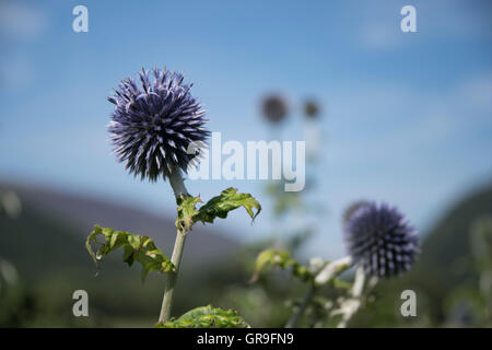 Echinops ritro Taplow Blue ( Globe Thistle ) growing in the Borrowdale Valley, Lake District, Cumbria, UK - Stock Photo