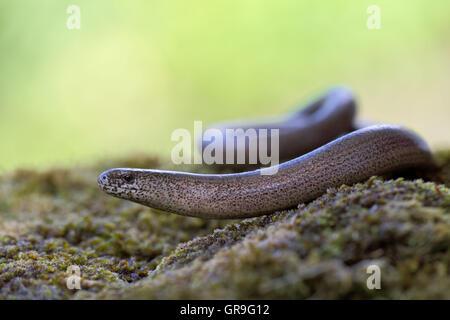 Blindworm - Stock Photo
