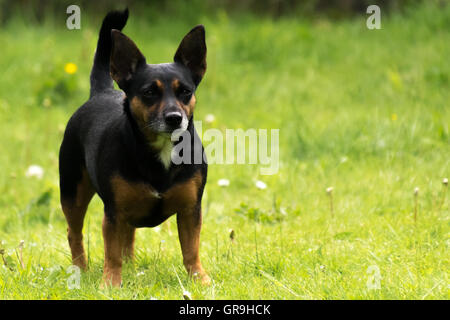 Tiny Lancashire heeler dog standing on a lawn in summer - Stock Photo