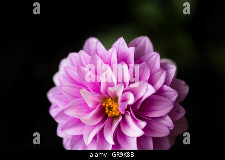 close up of a pink dahlia on black background - Stock Photo