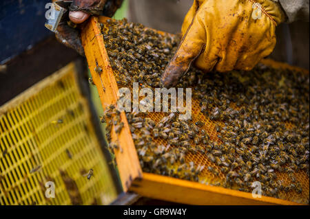 A beekeeper examines a beehive. - Stock Photo