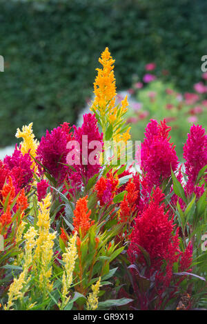 Celosia argentea. Feather Cockscomb flowers - Stock Photo