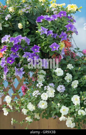 Petunia and verbena flowers in a hanging basket - Stock Photo
