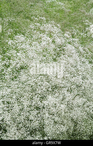 Gypsophila paniculata 'Bristol Fairy' . Baby's breath 'Bristol Fairy' flowering in an English garden - Stock Photo