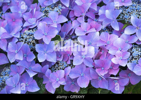 Hydrangea Macrophylla 'Kardinal violet' flowers pattern. - Stock Photo