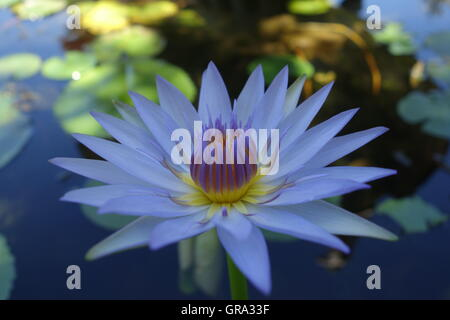 Blue Lotus Flower in a pond near Wat Chalong, Phuket, Thailand - Stock Photo