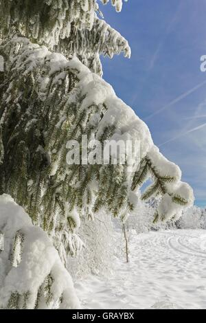 Snowy Spruce Branches Against Blue Sky - Stock Photo