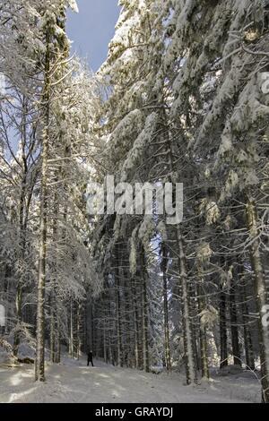 Winter Walk Between Tall Conifers - Stock Photo