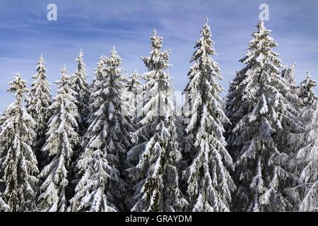 Snow-Covered Spruces In The Franconian Forest On The Radspitze - Stock Photo