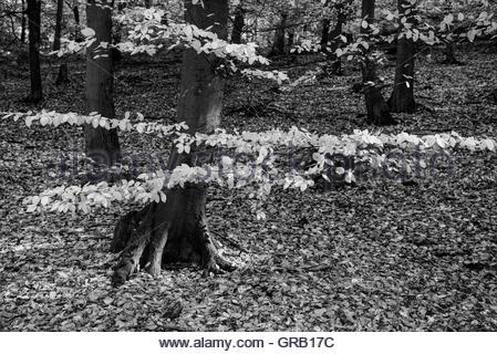 Beech Wood In Autumn - Stock Photo