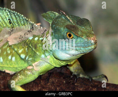 Male Central American Green or Plumed basilisk (Basiliscus plumifrons), a.k.a. double crested basilisk. - Stock Photo