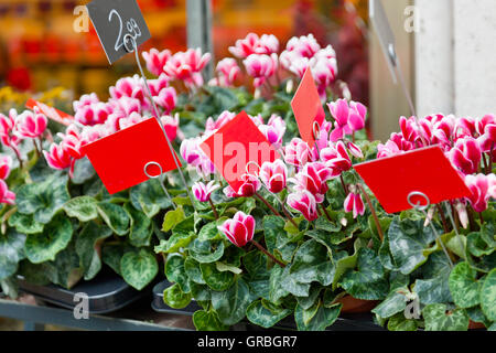 Pink cyclamens on a counter in flower shop - Stock Photo