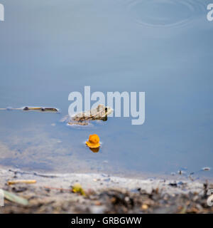 Frog in the lake - Stock Photo