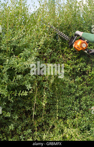 Cut Privet Hedge With Hedge Clippers - Stock Photo