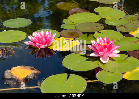 Nahaufnahme - Two Pink Flowering Lilies In A Pond - Closeup - Stock Photo