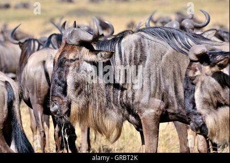 Wildebeests In Masai Mara, Kenya - Stock Photo