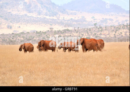 Group Of Elephants In The Yellow Grass Of Tsavo East National Park - Stock Photo