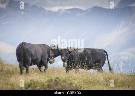 Two 2 Cows, Eringer Breed, On A Mountain Pasture In The Valais, Mountains In The Background - Stock Photo